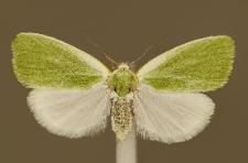 Earias clorana (Linnaeus, 1761)
