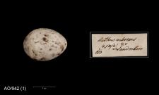Anthus trivialis