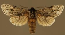 Brachionycha