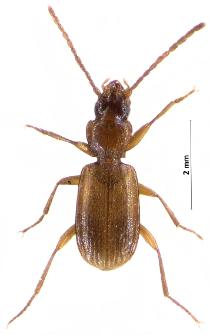 Trechoblemus micros (Herbst, 1784)