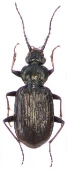 Loricera pilicornis (Fabricius, 1775)