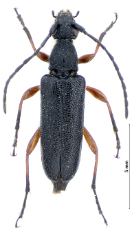Anoplodera
