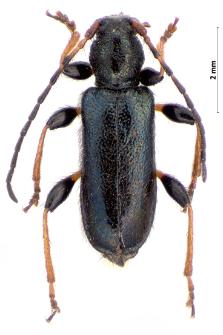 Phymatodellus