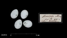 Ficedula albicollis
