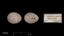 Motacilla cinerea