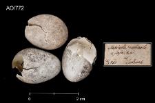 Saxicola rubicola