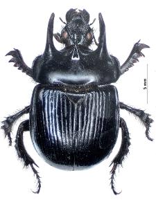 Typhaeus typhoeus (Linnaeus, 1758)
