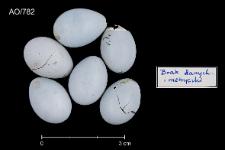 Phoenicurus phoenicurus