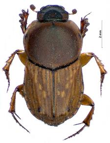 Euoniticellus