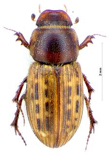 Euheptaulacus