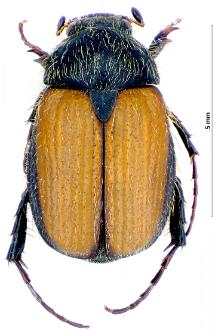 Omaloplia