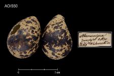 Chlidonias niger