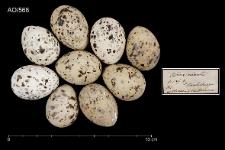 Sternula albifrons