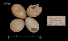 Luscinia megarhynchos