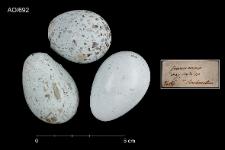 Corvus corone cornix
