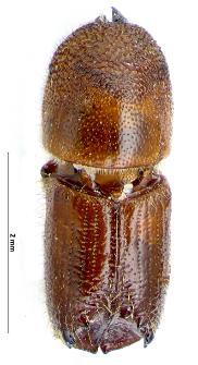 Ips acuminatus (L. Gyllenhal, 1827)