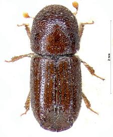 Ips duplicatus (C.R. Sahlberg, 1836)