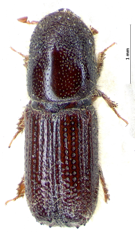 Orthotomicus longicollis (L. Gyllenhal, 1827)