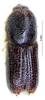 Orthotomicus suturalis (L. Gyllenhal, 1827)