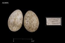 Eremophila alpestris