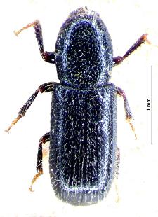 Thamnurgus