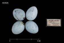 Prunella modularis