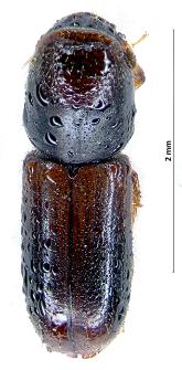 Gnathotrichus