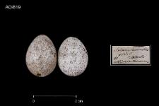 Locustella luscinioides