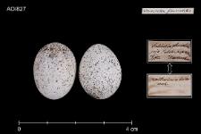 Locustella fluviatilis