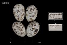 Acrocephalus arundinaceus