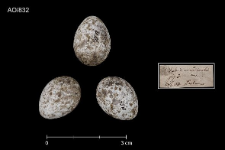 Acrocephalus scirpaceus