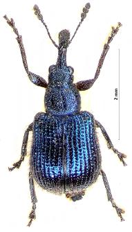 Neocoenorrhinus