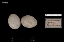 Acrocephalus paludicola