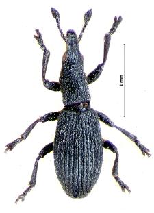 Pseudostenapion