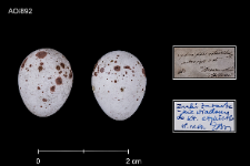 Phylloscopus trochilus
