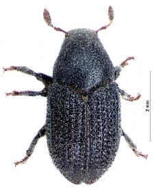 Hylesinus