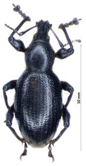 Otiorhynchus