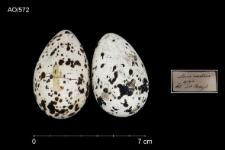 Thalasseus sandvicensis