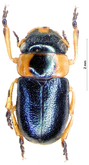 Cheilotoma