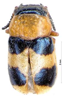 Coptocephala