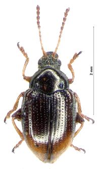 Hippuriphila