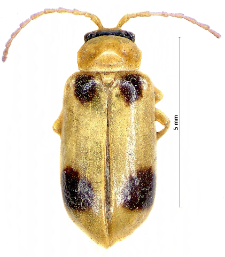 Phyllobrotica