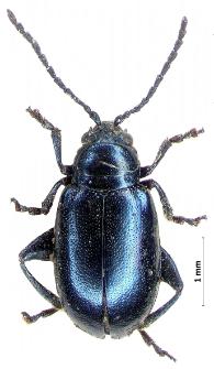Altica oleracea (Linnaeus, 1758)