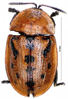 Cassida murraea Linnaeus, 1767