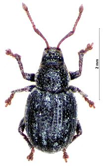 Centricnemus