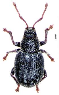 Centricnemus leucogrammus (E.F. Germar, 1824)