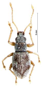 Argoptochus