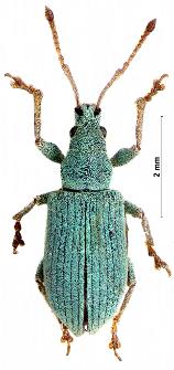 Phyllobius virideaeris (Laicharting, 1781)