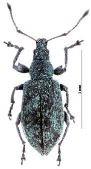 Phyllobius pomaceus L. Gyllenhal, 1834