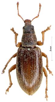 Polydrusus